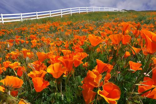 Leona Valley Poppies