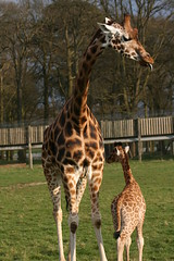 IMG_4857 (mike1727) Tags: park safari giraffe img woburn 4857