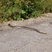 Rattle Snake in Towlsey Canyon