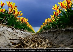 Netherlands - Field of Yellow/Red Tulips under Dramatic Stormy Sky ( Lucie Debelkova / www.luciedebelkova.com) Tags: travel flowers panorama flower holland color colour green nature netherlands floral colors beautiful beauty field lines festival closeup garden landscape botanical outdoors spring flora colorful europe pattern view tulips emotion blossom fresh strip tulip bloom vista fields bulbs botanic feeling paysage exploration landschaft freshness flourish blooming earlyspring evropa holandsko fieldflowers flowerblossoms mywinners gardentulip nizozemi lppoint luciedebelkova wwwluciedebelkovacom
