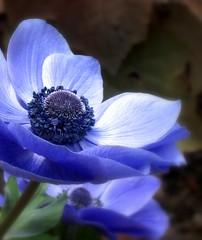 Blue on Blue (Kurlylox1) Tags: blue plant flower petals center anemone veins bluemood usbotanicalgarden bartholdipark golddragon abigfave superbmasterpiece diamondclassphotographer flickrdiamond macromarvels goldstaraward awesomeblossoms