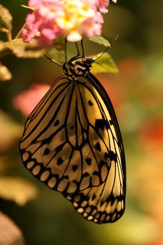 Butterfly #7