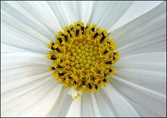 Yellow Heart (Emil de Jong - Kijklens) Tags: nature yellow gelb geel blum bloem fkower