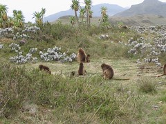 Geladas foraging (sluggo5) Tags: ethiopia gelada menz guassa
