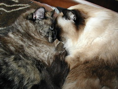 Wiki & Kia Cuddling (The Cat's MeOM) Tags: 2001 sleeping cat snuggle hugging hug chat nap all sleep blueeyes kitty siamese catnap sleepy gato calico snooze hugs katze kia gatto himalayan wiki gatinho snuggles gatito snuggling chaton gattino cathug kittyhug kittyhugs katzchen cathugs kittenhug kittenhugs