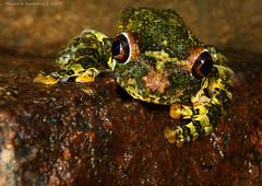 Hispaniolan Giant Treefrog (Osteopilus vastus)