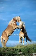 Haflinger, Equus przewalskii f. caballus, Haflinger horse (Lothar Lenz) Tags: horse poster caballo cheval action cover alm kalender cavalo pferd hest equus paard ebbs titel oesterreich haflinger hst kampf kmpfen hestur steigen konj hobu zirgs