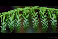 Fern (tgduarte) Tags: fern verde green forest costarica monteverde floresta feto monteverdecloudforestreserve nikond80 naturewatcher