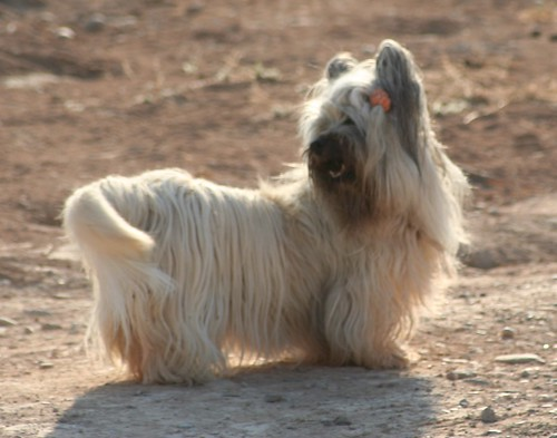 Skye Terrier Dog Breeds
