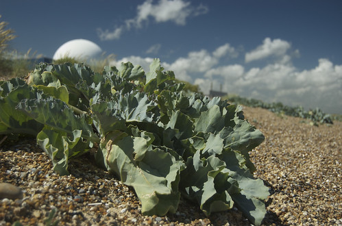 Sea-kale and Sizewell B