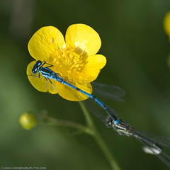 Azure Damselflies (Chris@184) Tags: canon insect eos interestingness interesting dragonfly explore manfrotto odonata d60 insecta zygoptera azuredamselfly coenagrionpuella pleasley sigma180mmf56macro pleasleypit chris184 manfrotto679bmonopod manfrottomn234head top20bugsandblossoms vivitar14xmc manfrottoofficialgroup