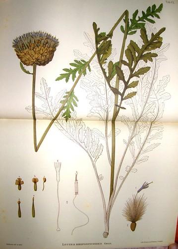leuzea rhaponticoides. Lámina de Willkomm (ca. 1886)