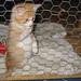 20080329 - Oranjello, the new kitten - 152-5269 - Oranjello's brother - close-up