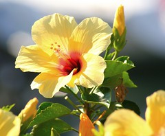 Hibiscus in Punta del Moral (tijmenkroes) Tags: ilovenature spain andalucia hibiscus potofgold supershot fineartphotos puntadelmoral flickrelite naturethroughthelens awesomeblossoms