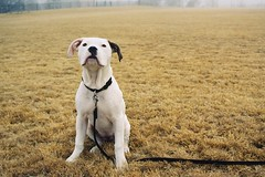 Tracking (MilkaWay) Tags: winter film fog puppy georgia athens uga attention milka tracking universityofgeorgia rugbyfield americanbulldog intramuralfields lakeherrick clarkecounty fourmonthsold nikkor3570mm nikonfe10 sayawww milkamonday andhaveagreatweek