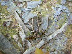 Pickerel Frog Defense Posture (corey.raimond) Tags: pose reflex pennsylvania pickerelfrog defenseposture