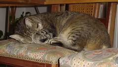 agost 2008 115 La Mixa sota la taula / Mixa under the table (visol) Tags: cat gata katze chatte mixa bestofcats catmoments