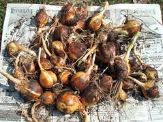 Onion Harvest 2008
