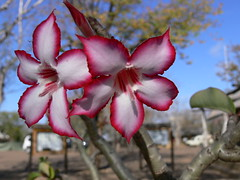 My Impala Lily Photo (by gwendolen)
