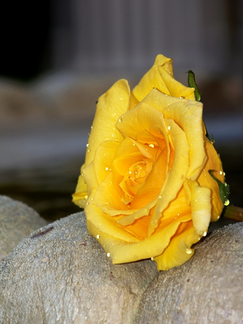 Yellow Rose Named Leonardo