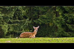 Horizontals: Bambi (manganite) Tags: park red brown white color green nature animals digital germany geotagged nikon colorful europe tl framed doe eifel deer d200 nikkor dslr roe hellenthal wildgehege northrhinewestphalia wildlifephotography 18200mmf3556 utatafeature manganite nikonstunninggallery wildlifeeurope repost1 date:year=2008 date:month=august date:day=31 geo:lat=50497473 geo:lon=6427581 format:orientation=landscape format:ratio=21