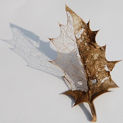 1 Holly leaf - going (roseyhadlow) Tags: going leafskeleton ilexaquifolium hollyleaf