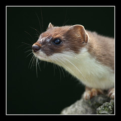 stoat squared (felt_tip_felon®) Tags: nature animals closeup nose profile whiskers bwc stoat britishwildlifecentre