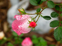 A Rose and a Bud (Don3rdSE) Tags: pink red flores flower color colour macro nature rose petals interestingness colorful pretty natural bright blossoms ia sensational blooms clive soe pictureperfect desmoines glendalecemetery desmoinesiowa flickrsbest fantasticflower anawesomeshot cliveiowa amazingamateur flowerwatcher overtheexcellence platinumheartaward macromarvels theperfectphotographer canong9 excellentsflowers natureselegantshots mimamorflowers auniverseofflowers topqualityimagesonly oraclex theperfectpinkdiamond flickrflorescloseupmacros don3rdse thecelebrationoflife windsorheightsiowa nsg2