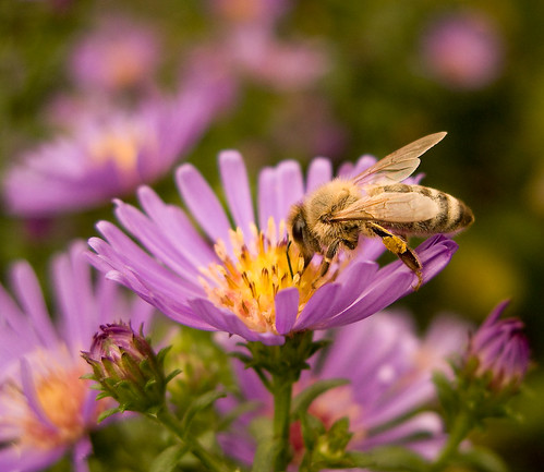 Fall Harvesting - a bee on aster