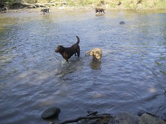 Two Labs Playing in a River