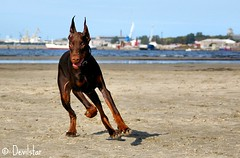 Campary (Devilstar) Tags: dog brown beach land doberman rand pinscher dobermann flox koer stroomi campary  legrant