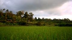 paddy field (CosmicDust) Tags: karnataka coorg madikeri civetcreek