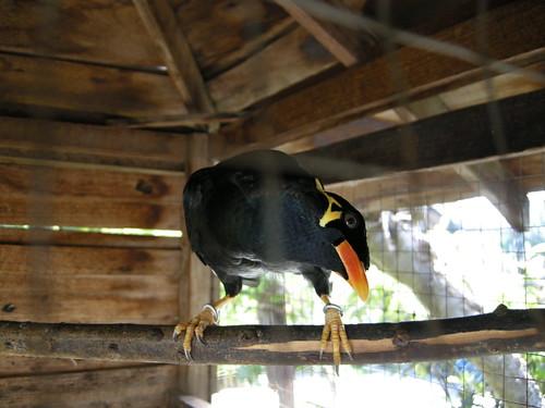 นกขุนทองที่พูดสวัสดีครับได้ชัดมาก