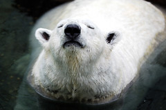 Polar bear (floridapfe) Tags: white water animal nikon arctic polarbear everland  zooo d80 platinumphoto impressedbeauty