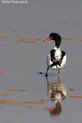 Common Shelduck   (mohammad khorshid (boali)) Tags: bird duck kuwait q8   kwt