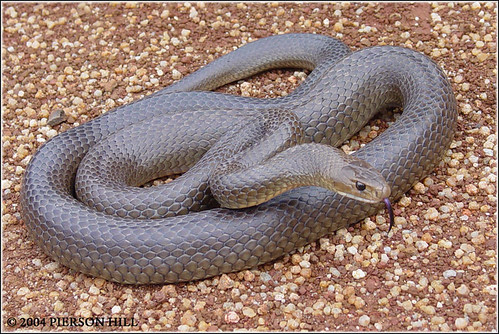 referred to as the Brown Snake, is an elapid snake native to Australia.