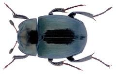 Sphaerites glabratus (Fabricius, 1792) (urjsa) Tags: coleoptera käfer beetle insect sphaerites gabratus sphaeritesglabratus germania deutschland europe europa taxonomy:binomial=sphaeritesglabratus taxonomy:family=sphaeritidae taxonomy:genus=sphaerites taxonomy:species=glabratus geo:country=europe sphaeritidae coleopteraus