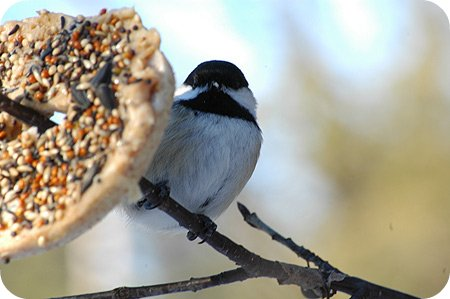 Black-capped Chickadee and a bagel
