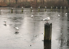 Frozen Long Lake, Hyde Park, London on New Year's Eve (_nejire_) Tags: park uk england seagulls lake cold bird london nature birds canon dark eos 50mm frozen pond kiss bokeh britain seagull gull gulls explore dull frozenlake yesyou frozenpond 50mmf18 dullday naturesfinest 1020am 10faves joka2000 nejire 400d eos400d kissx fave10 mhashi howluckytheyaretheycanwalkontheicypond ihavesaiddamnalreadybutitisreallydamn iusedthiswithf28damn andmyfatherwillbeshockedwhenheseesthecommentsonhispicturebuteveryoneisgoingtohisshotandnotcommentingonminehahaha 40atthemoment 1037395g045am 1168485g830am noyoucantdonttryit yourestoryonmypicturewasverymovingthankyouitsalessonforme