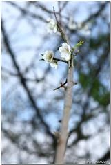 IMG_7836hsini.jpg (Spencer Hsieh & Voicechien) Tags: blossom plum  plumblossom prunus  nantou  hsini   mume