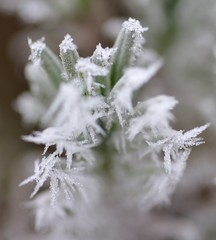 Frozen life forms - lavender on our balcony