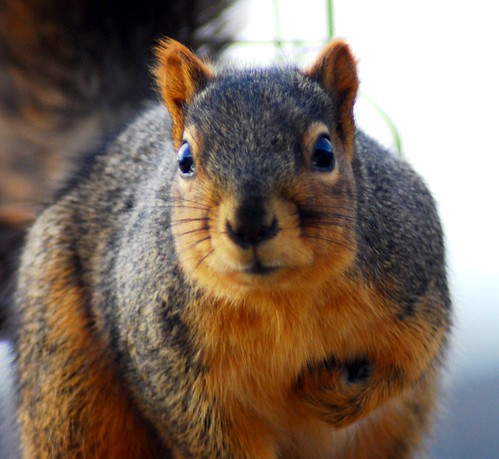Face-off With Fox Squirrel