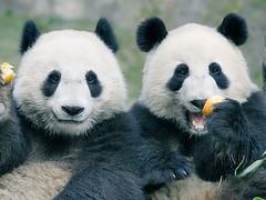 中國熊貓照片原圖