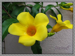 Allamanda cathartica 'Golden Butterfly' (Yellow Allamanda/Bell, Golden Trumpet) in our garden, July 27 2008