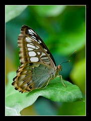 Clipper - Parthenos sylvia (UoPHoCDA) Tags: sylvia clipper parthenos