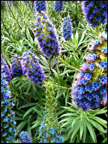 california-flowers
