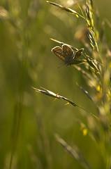 Back off (Mathieu Calvet) Tags: macro nature butterfly lot 100mm ppg k5 papillons midipyrénées pentaxphotogallery justpentax pentaxart pentaxfa100mmf28 pentaxk5