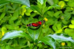 mariposa-monarca-oriente (ZOOMINFINITO) Tags: paisajes naturaleza ecuador oriente enrique mariposa espinoza coloridas oruga fantastica gruss fdream