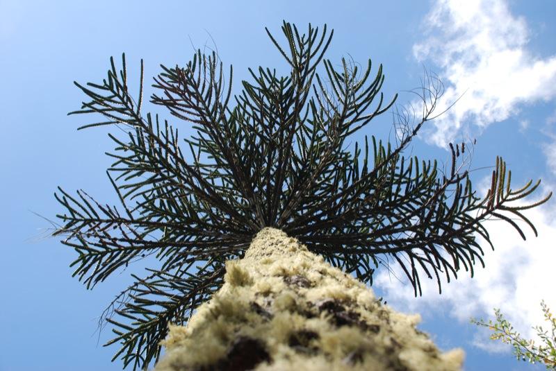 araucaria, desde abajo
