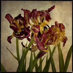 tulips (anders mörtsell) Tags: flowers flower square tulip magical palabra themoulinrouge bsquare golddragon goldenphotographer diamondclassphotographer flickrdiamond betterthangood theperfectphotographer thedantecircle